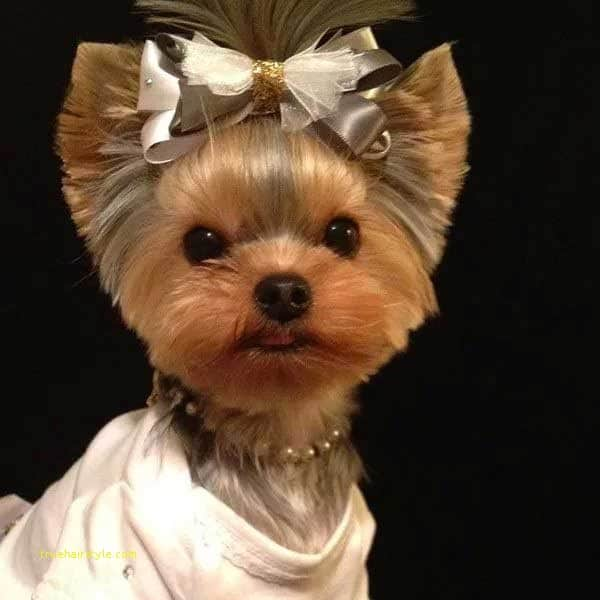 best of cute short yorkie haircuts