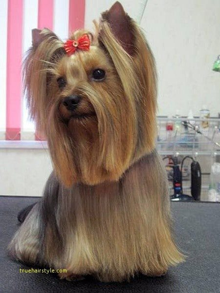 elegant cute short yorkie haircuts