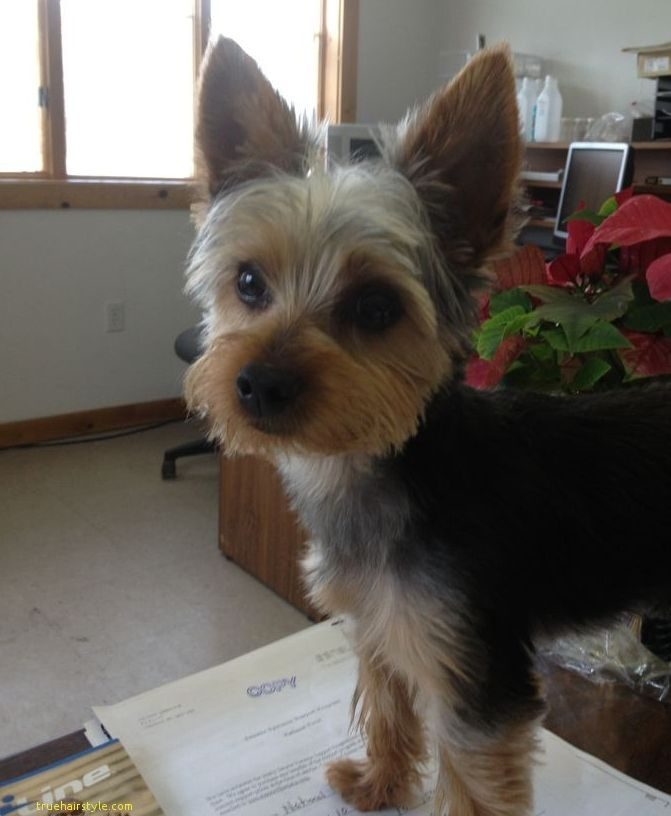 lovely cute short yorkie haircuts