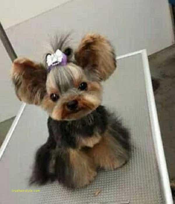 new cute short yorkie haircuts