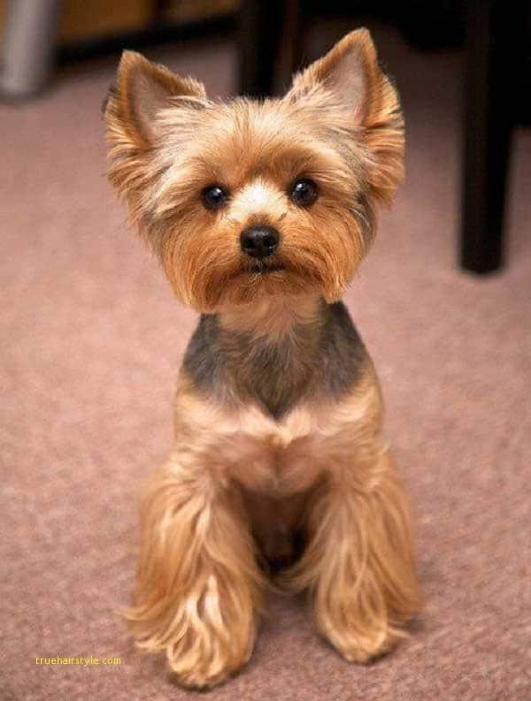 unique cute short yorkie haircuts
